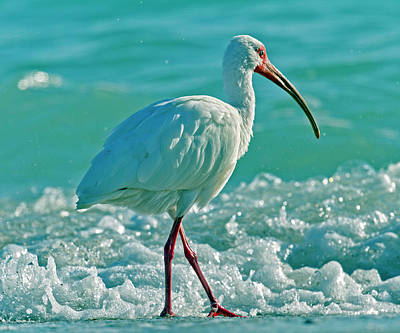 White Ibis Paradise Poster by Betsy Knapp