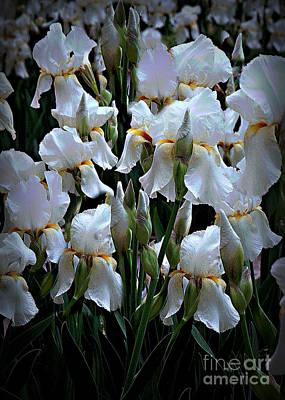 White Iris Garden Poster by Sherry Hallemeier