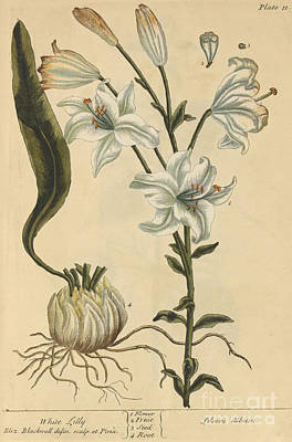White Lily, Medicinal Plant, 1737 Poster by Science Source