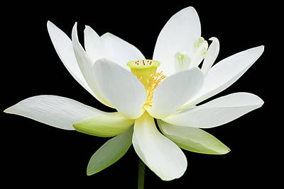 White Lotus On Black Poster by Dawn Currie