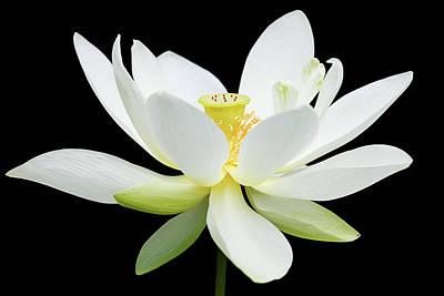 White Lotus On Black Poster