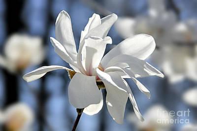 White Magnolia  Poster by Elena Elisseeva