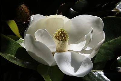 White Magnolia Flower Poster