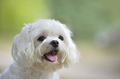 White Maltese Dog Sticking Out Tongue Poster