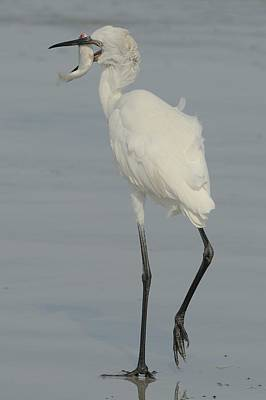 White Morph Reddish Egret  With Mullet Poster by Bradford Martin
