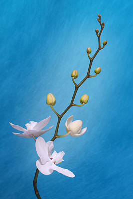 White Orchid Buds On Blue Poster by Tom Mc Nemar