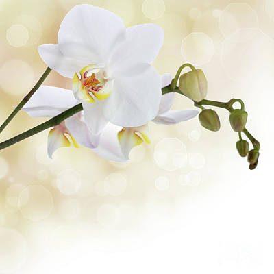 White Orchid Flower Poster by Pics For Merch