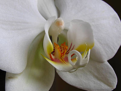 White Orchid Macro Photograph Poster by Juergen Roth