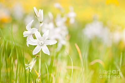 White Ornithogalum Nutans Blooming Poster