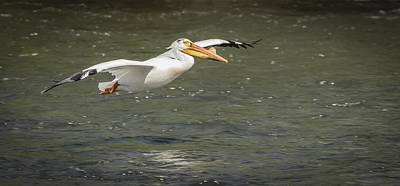 White Pelican 1-2015 Poster by Thomas Young