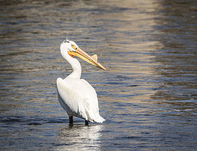 White Pelican 2-2015 Poster by Thomas Young