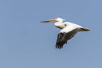 White Pelican 4-2015 Poster by Thomas Young
