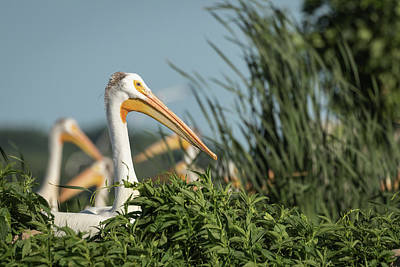 Poster featuring the photograph White Pelican 7-2015 by Thomas Young