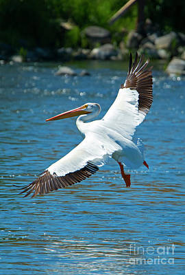 White Pelican Flight Poster by Mike Dawson