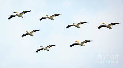 Poster featuring the photograph White Pelican Flyby by Ricky L Jones