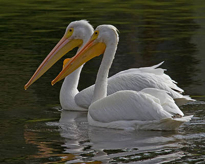 White Pelican Pair Poster