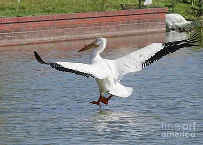 White Pelican Soft Landing Poster