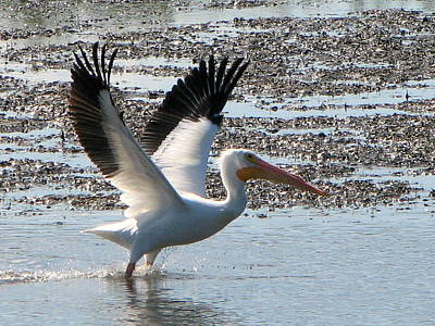 White Pelican Takes Wing Poster