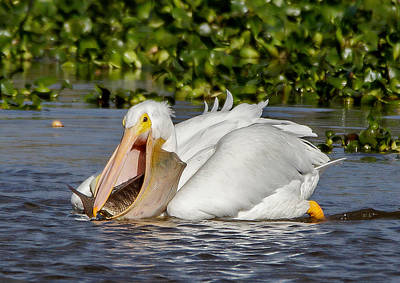 Poster featuring the photograph White Pelican With A Huge Catch by Phil Stone