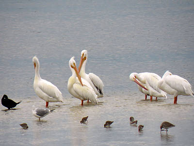 White Pelicans And Friends Poster by Rosalie Scanlon