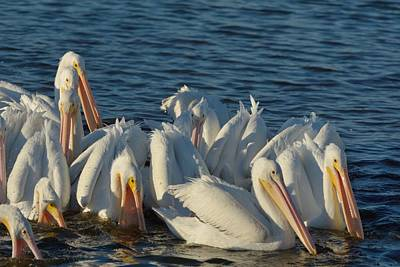 Poster featuring the photograph White Pelicans Flock Feeding by Bradford Martin