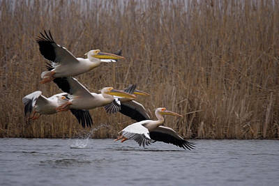 White Pelicans In Flight Over Lake Poster