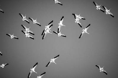 White Pelicans In The Winter Sky - Black And White - Texas Poster by Ellie Teramoto