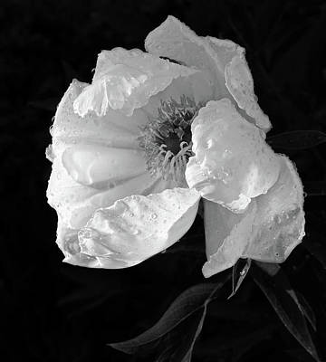White Peony After The Rain In Black And White Poster by Gill Billington