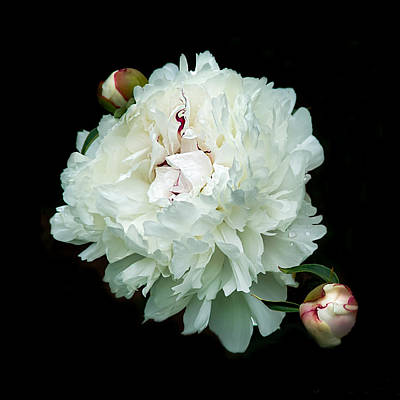 White Peony And Buds Poster