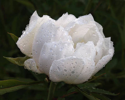 White Peony Covered In Raindrops Poster by Gill Billington