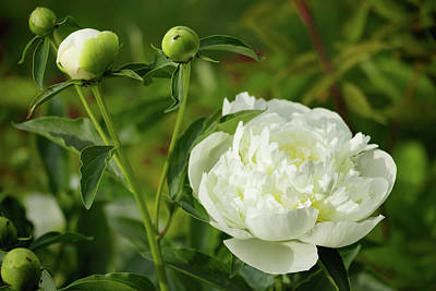 Poster featuring the photograph White Peony by Cristina Stefan