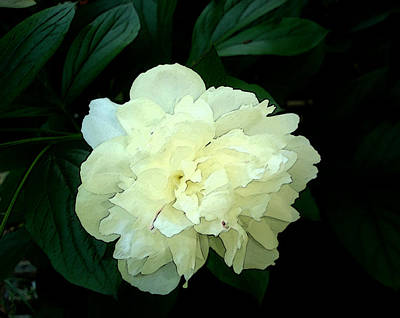 Poster featuring the photograph White Peony Rose Sumie Print by Margie Avellino