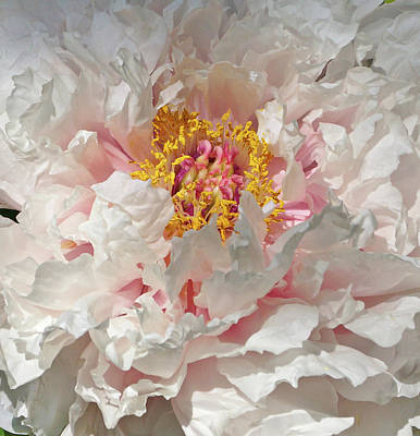 White Peony Poster by Sandy Keeton