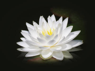 White Petals Glow - Water Lily Poster