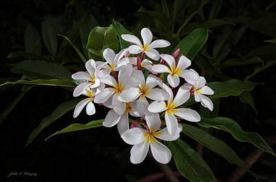 White Plumerias In Bloom Poster