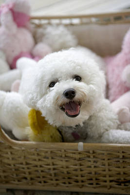 White Poodle Lying In Bed With Stuffed Poster