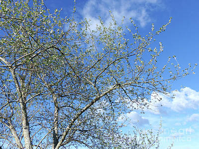 White Poplar - Blue Sky Poster by Phil Banks