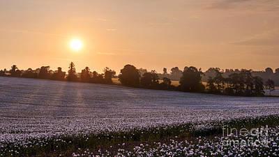 White Poppy Field Sunrise Poster by Richard Thomas