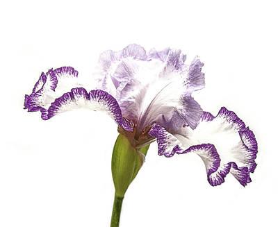 White Purple Iris Poster