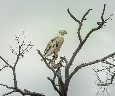 White Redtail Hawk Poster by Robert Frederick