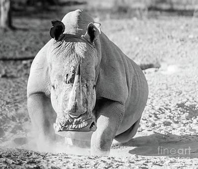 White Rhino Black And White Poster