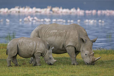 White Rhino Mother And Calf Grazing Poster by Ingo Arndt