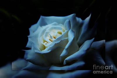 White Rose 2 Poster by Elaine Hunter