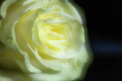 White Rose 4 Soft Poster