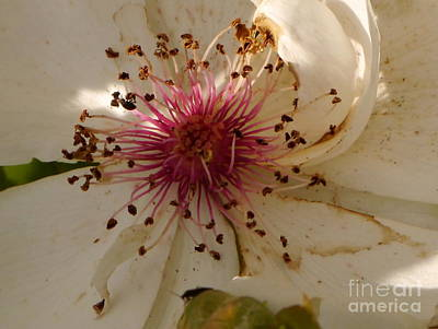 White Rose Centerpiece Poster by Christiane Schulze Art And Photography