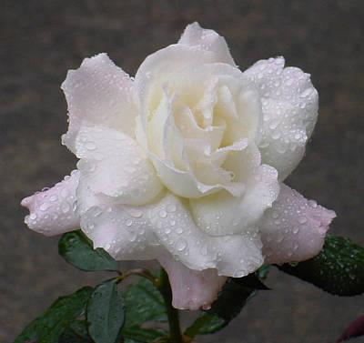 White Rose In Rain - 3 Poster by Shirley Heyn