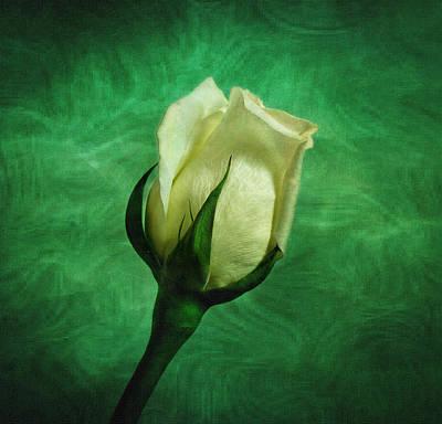 White Rose Poster by Sandy Keeton