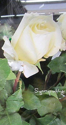 White Rose - Sympathy Card Poster