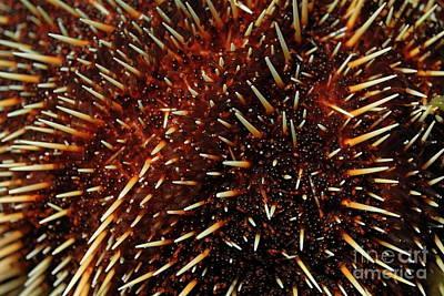 White Sea Urchin Poster
