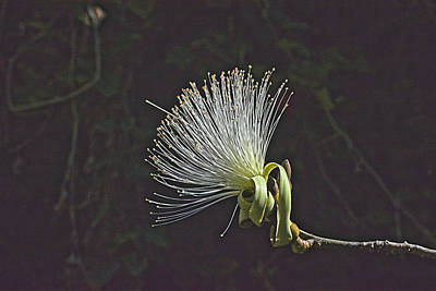 White Shaving Brush Pseudobombax Flower Poster